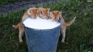 pisica si laptele