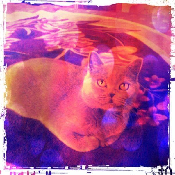 miss yuki - cadou pisica