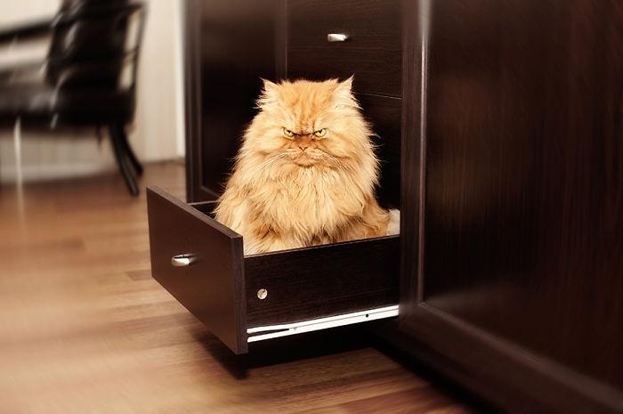 Garfi pisica furioasă