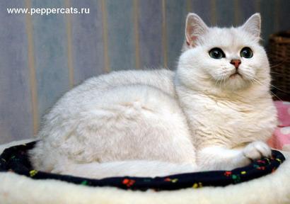 pisici albe