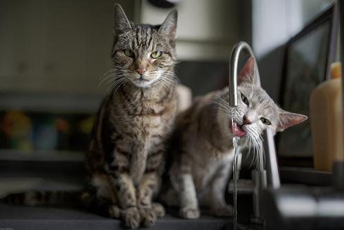 cat_drinking_water_6