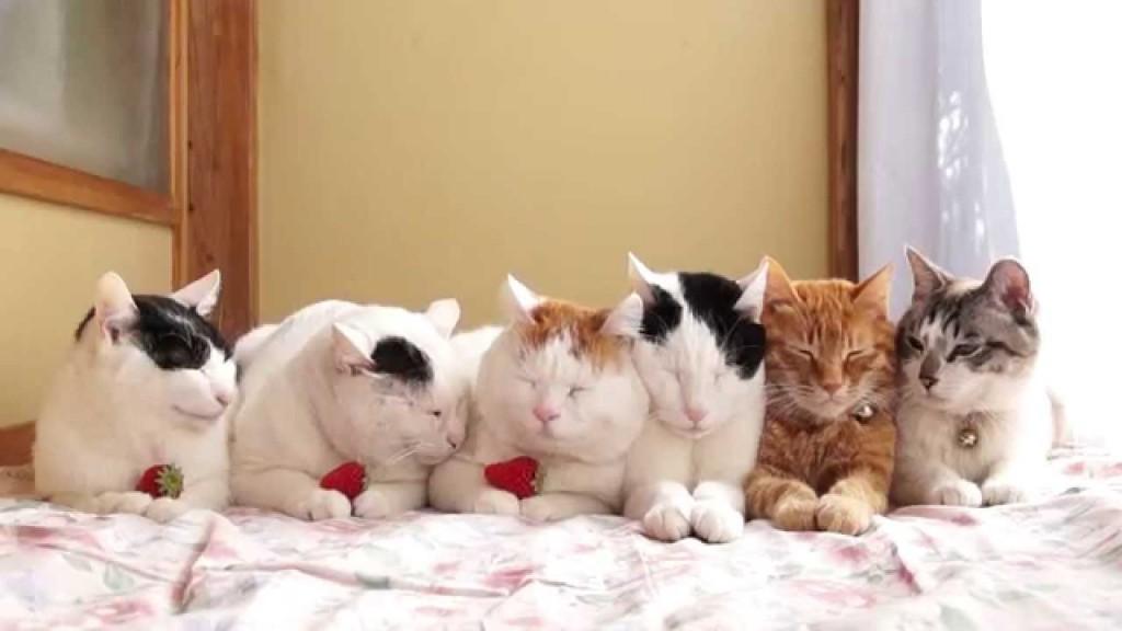 pisica si capsunele